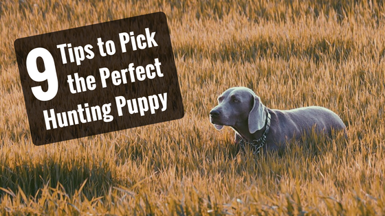 pick the perfect hunting puppy