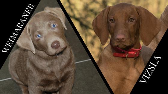 Vizsla Weimaraner Mix Dog - Goldenacresdogs com
