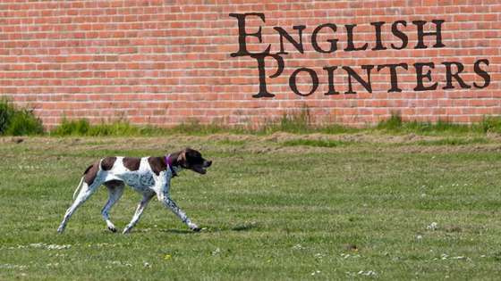 English Pointers