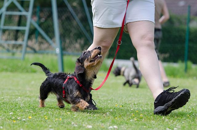 training a stubborn dog