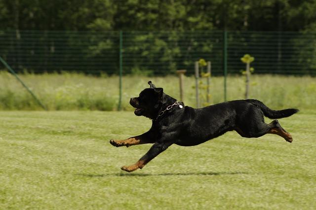 Rottweiler Running