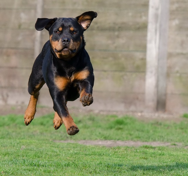 rottweiler running outside