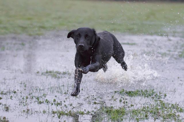 hyper labrador dog