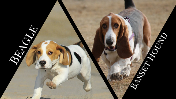 Beagle vs Basset Hound