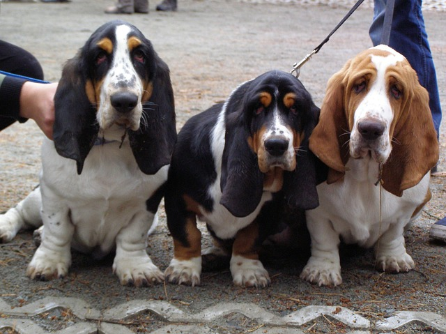 Funny looking basset hounds