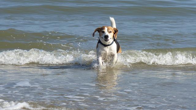 hyper beagle