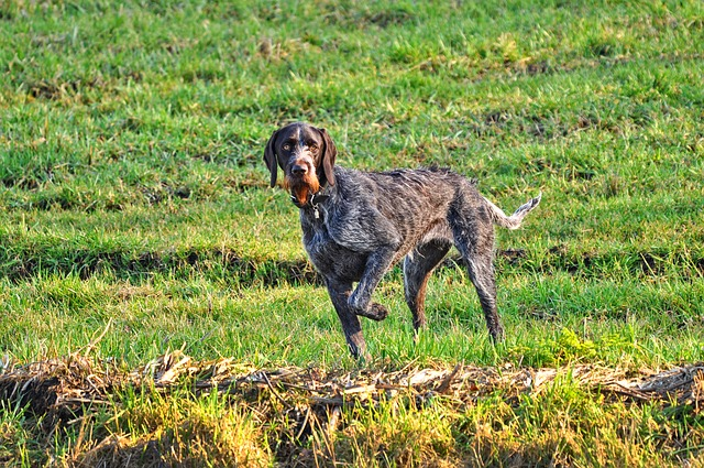 offseason hunting dog training