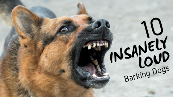 10 insanely loud barking dogs