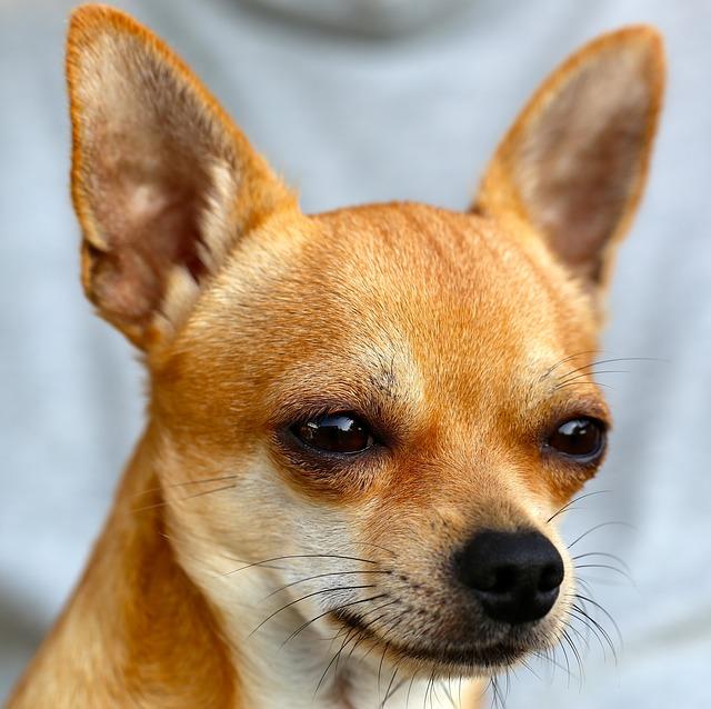Chihuahua loud barker