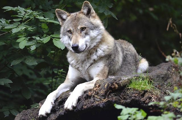 Wolves dont bark
